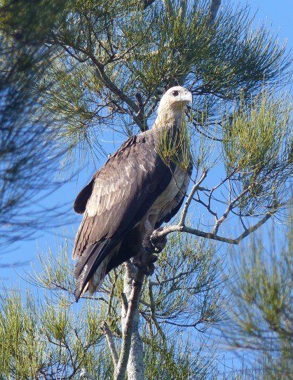 Juvenile white bellied sea eagle